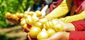 Elazığ'ın sarı altını kayısıda hasat başladı Türkiye'nin sayılı kayısı üretim merkezlerinden biri olan Elazığ'ın Baskil ilçesinde bulunan 1 milyon ağaçta hasat başladı, bu yıl  verim fazla olması nedeniyle üreticisini de sevindirdi