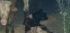 Koku gelince ortaya çıktı, kayıp hayvanlar 11 gün sonra halı sahada bulundu 1'i telef oldu