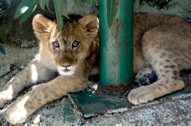 Rezidanstan hayvanat bahçesine İranlı ünlü modelin lüks rezidansta beslediği ve polis tarafından yakalanan aslan yavrusu ile piton yılanı Gaziantep'te koruma altına alındı