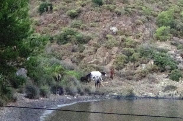 Yılkı atları Marmaris koylarını mesken tuttu