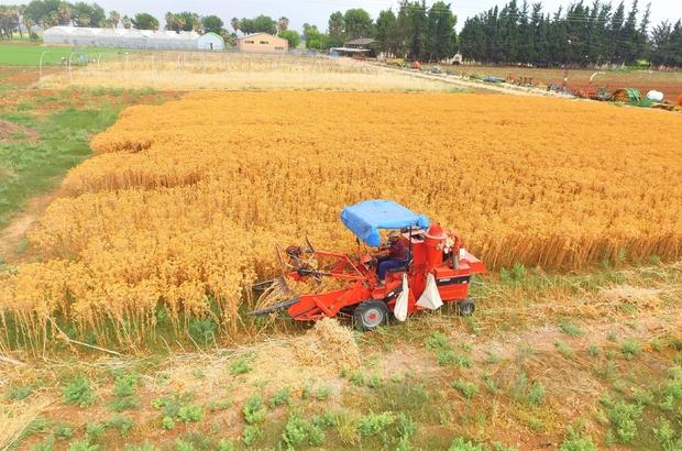 Şanlıurfalı çiftçiler için yeni alternatif ürün geliştirildi Şanlıurfa'da hasadı yapılan aspir bitkisinden yüksek verim elde edildi