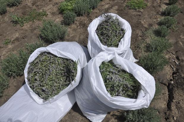 Muratlı'da ilk lavanta hasadı heyecanı