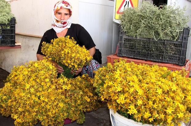 5 liralık şifa kaynağı Muğla'da doğal ortamda yetişen ve altın sarısı çiçekleri ile dikkat çeken kantaron yağının faydaları saymakla bitmiyor