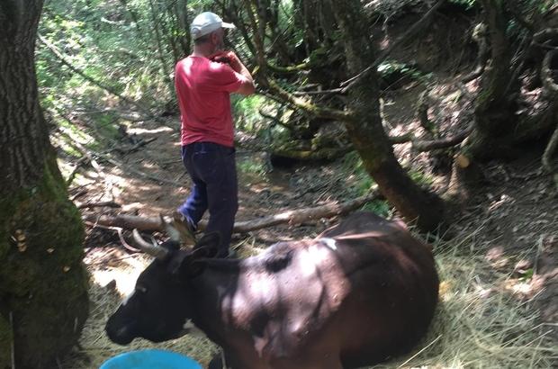 Dere yatağına düşen inek saatlerce kurtarılmayı bekledi Ayağı kırılan inek sıkıştığı yerden kepçe yardımı ile çıkartıldı ve veteriner hekim kontrolünde kesildi