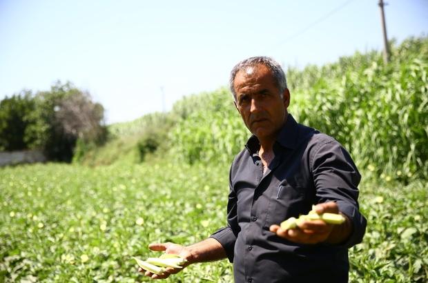 Büyükşehir Belediyesi 5 ton bamya satın aldı Bamya üreticisinin imdadına Büyükşehir Belediyesi yetişti