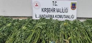 Jandarma 410 kök kenevir bitkisi ele geçirdi