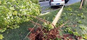 Gaziantep'te ehliyetsiz sürücü dehşeti Kaza anında otomobilin çarptığı çınar ağacı kökünden söküldü Ehliyetsiz sürücü kazada açılan hava yastığı ile ölümden kurtuldu