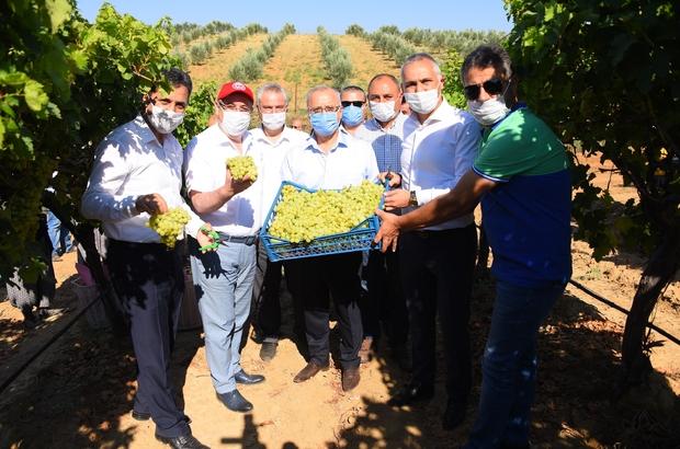 Salihli Ovası'nda ihracatlık üzümde hasat başladı İlk üzüm hasadını ilçe protokolü yaptı