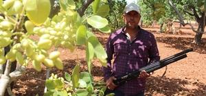 Yeşil altın için gece gündüz silahlı nöbet Antep fıstığı üreticileri hırsızlara karşı silahlı nöbet tutuyor