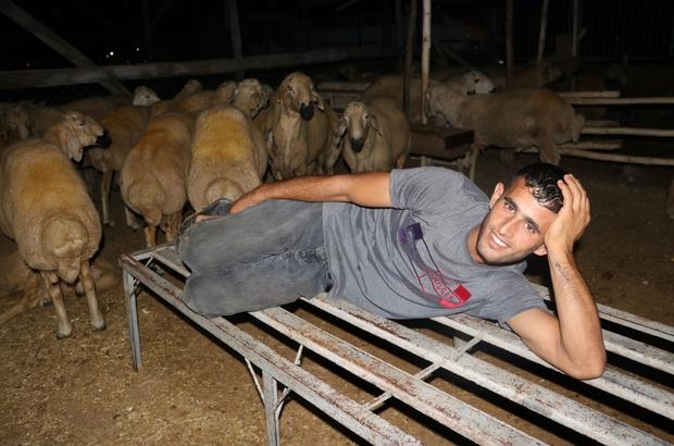 Celeplerin koyun koyuna uykusu Kurban satıcılarının zorlu mesaisi Adana'da kurban satıcıları, bayram öncesi hayvanları çalınmasın diye onlarla birlikte yatıyor