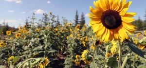 Trakya Üniversitesinden 'Ayçiçeği koleksiyonu bahçesi'