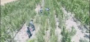 Mısır tarlasına uyuşturucu oparasyonu Ekili kenevirleri polisin sökme anı drone ile görüntülendi Polis mısır tarlasına uyuşturucu operasyonu yaptı, 4 kişi gözaltına alındı