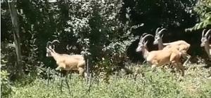Bingöl'de dağ keçileri görüntülendi