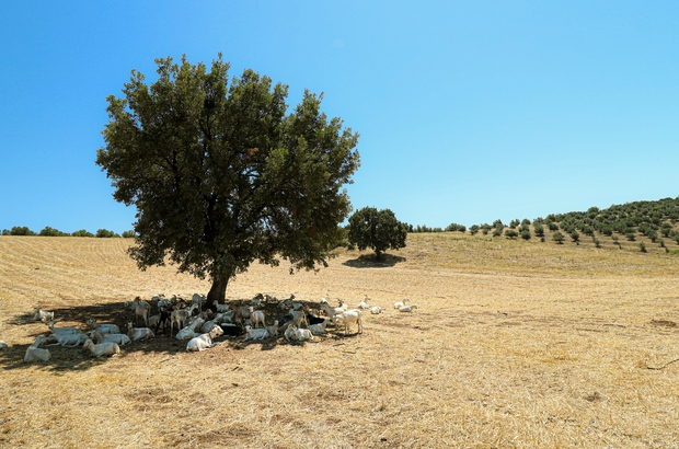 Bir ağaç 50 keçiye gölge oldu Sıcaktan bunalan keçilerin gölge keyfi