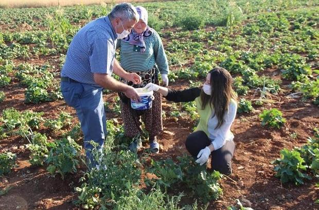 Su kullanılmadan üretilen bamya hasadı başladı Susuz üretilen bu sebze kurutulduktan sonra kilosu 150 TL'den satılıyor