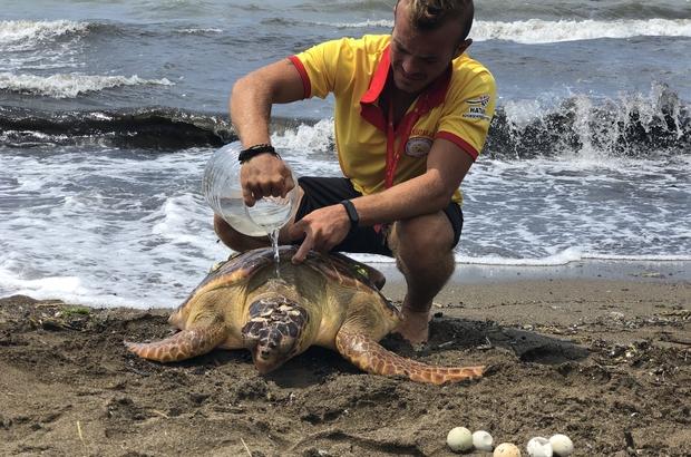 Başına darbe alan yaralı Caretta Caretta sahile vurdu Cankurtaranlar yaralı kaplumbağa için şemsiye açarak gölgede kalması için üstüne su dökerek hayatta tutmaya çalıştı