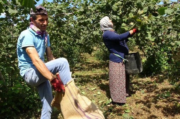 Üreticiler fiyattan memnun, fındık hasadı sevinçle yapılıyor Ordu'da sahil kesimlerinde fındık hasadı sürüyor Cumhurbaşkanı Recep Tayyip Erdoğan tarafından açıklanan fındık fiyatı, üreticilerin mutlu bir şekilde hasat yapmasını sağladı