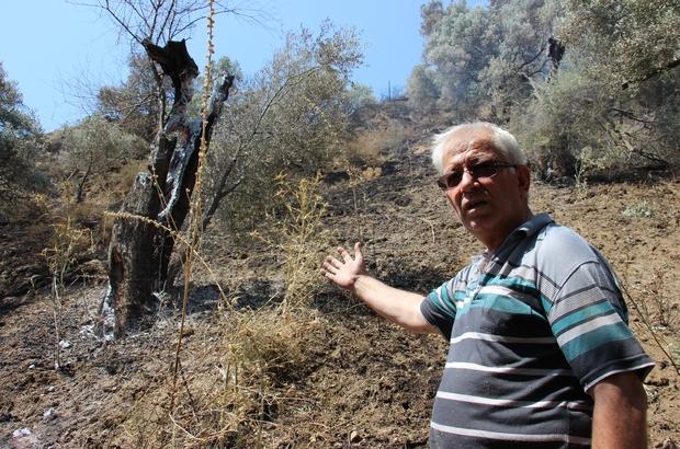 Yangın bitti, geriye acısı kaldı Asırlık zeytin ağaçları küle döndü