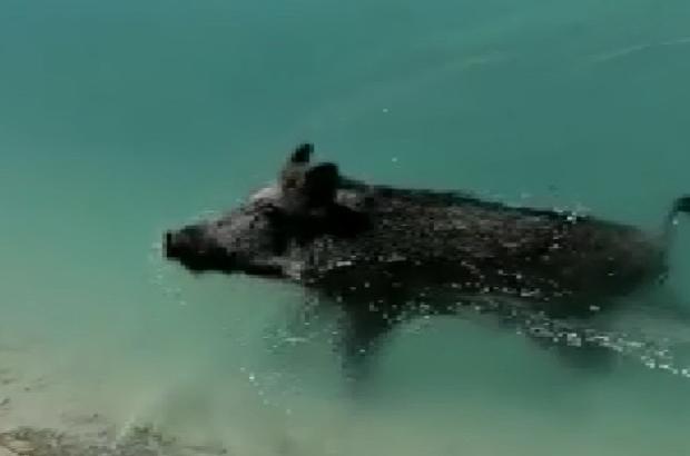 """Yaban domuzu sulama kanalına düşerse """"Gel"""" diye çaırılan yaban domuzu büyük uğraşlar sonucu kurtarıldı"""