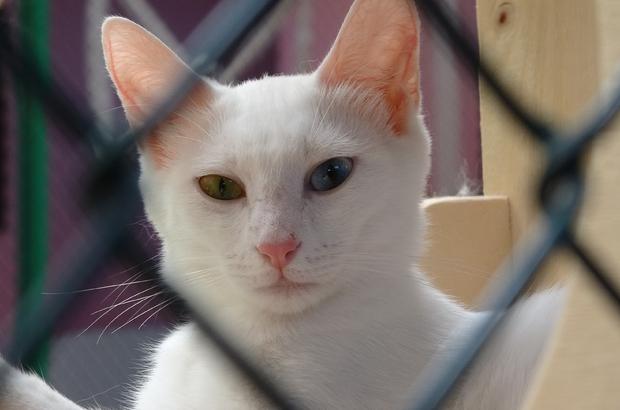 Van kedilerine sosyal mesafeli sevgi Ziyaretçiler Van kedilerine eskisi gibi yaklaşamıyor