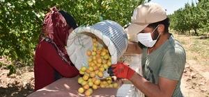 Altın meyve kayısının hasadında sona doğru