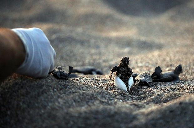 Caretta caretta yavruları denizle buluştu Yuvadan çıkan yavru carettalar, zorlu yolculuğa başladı Carettaların yolculuğuna turistler de şahit oldu
