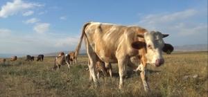Damızlık alınan boğanın süt emmesi sahibini şaşırttı İnekler için alınan damızlık boğa, sürüdeki ineklerden günde 25 litre süt emiyor