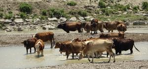 Muş'ta sıcak havadan etkilenen büyükbaş hayvanlar nehirde serinliyor
