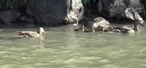 Yavruları ölen anne ördeğin annelik duygusu Diğer ördeğin yavrularını sahiplenen ördek kameralara yansıdı