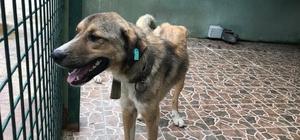 Trabzon'da sahipsiz sokak hayvanları mikroçiple takip edilecek