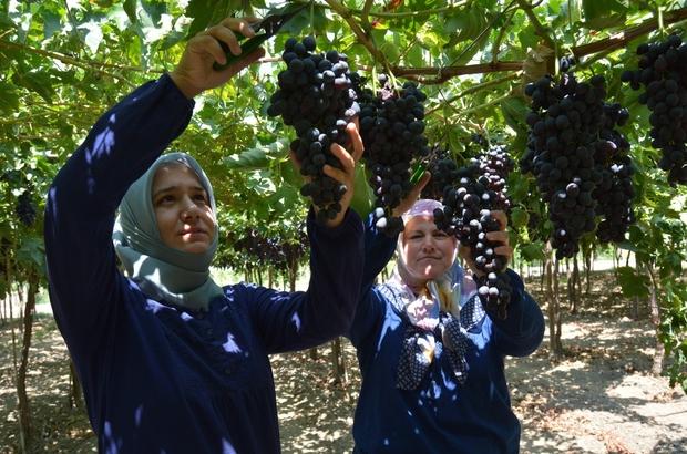 Lezzeti beğenilen 'Spil Karası'nın üretimi ülke genelinde yaygınlaşıyor