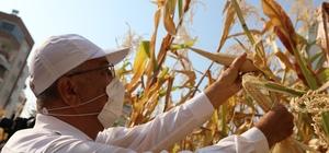 Kentin ortasında mısır hasadı sevinci Mezitli Belediyesinin, Mezitli Kadın Üretici Kooperatifi ile birlikte hayata geçirdiği 'Kent Tarımı' projesi, ürünlerini vermeye başladı. Kentin göbeğinde boş bir arsaya ekilen mısırlar yetişti ve ilk hasat bugün yapıldı