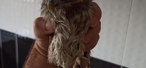 Ardahan'da bulunan şahin ve kukumav kuşu Kars'ta tedavi altına alındı