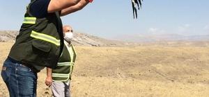 Kaya kartalı, doğal ortamına salındı