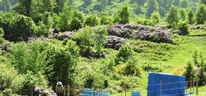 Ordu'da arıcılar için 9 bal ormanı kuruldu