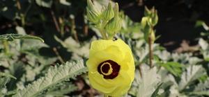 """Amasya'nın tescilli """"gram altını"""": Çiçek bamyası"""