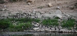 Sıcaktan bunalan kuşlar derede serinledi