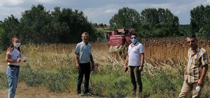 Pınarhisar'da ayçiçeği hasadı başladı