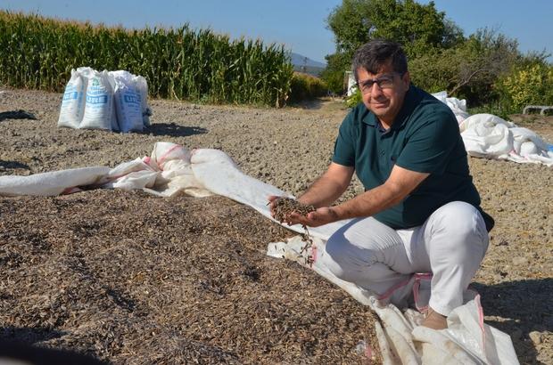 Kırkağaç'ta ay çekirdeği hasadı başladı Üreticiler gümrük vergilerinin tekrar yükseltilmesini istiyor