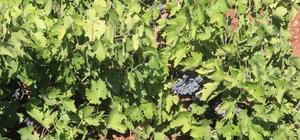 Kilis karası üzüm kurutulmaya bırakılıyor