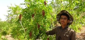 Gercüş'te sumak hasadı başladı Sumağın kilogramı 25 liradan satılıyor