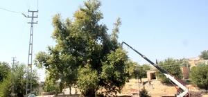 Tarihi anıt ağaçların rehabilitasyon çalışmalarına başlandı
