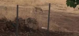 Tunceli'de köpek ile tilkinin kıskandıran dostluğu