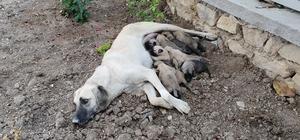 Ölüme terk edilen 10 yavru köpek, 3 gün sonra annelerine kavuştu Elazığ'ın Ağın ilçesinde kasa içerisinde ölüme terk edilen gözleri açılmamış 10 yavru köpeğin annesi, 3 günlük çalışma sonrasında bir mağarada bulundu Bulunduğu anda saldırgan olan köpek, yavrularına kavuşunca sakinleşti