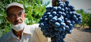"""Elazığ'ın üzümde markası """"Hoşköy""""de bağ bozumu heyecanı"""