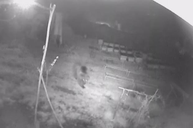 Aç gözlü ayı güvenlik kamerasına yakalandı Sivas'ın Akıncılar ilçesine bağlı Göllüce köyünde Recep Keleş'e ait arılığa girip bal yiyen, kovanları tahrip eden aç gözlü ayı, bostana da girip onlarda kavun ve karpuzu ziyan etti