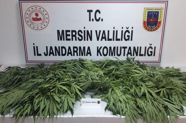Mersin'de 71 kök kenevir bitkisi ele geçirildi