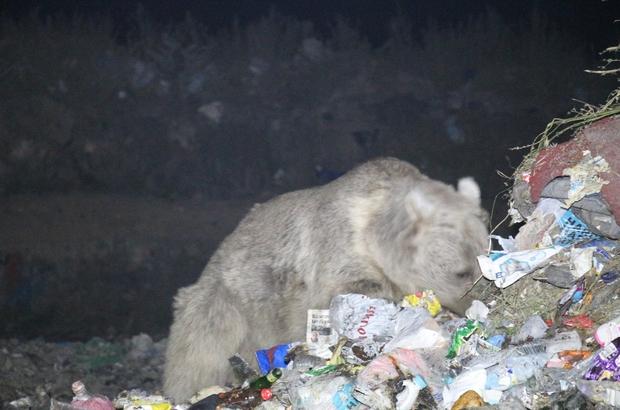 Boz ayılar yiyecek ararken görüntülendi Vatandaşlar boz ayıları izlemek için çöplüğe akın ediyor