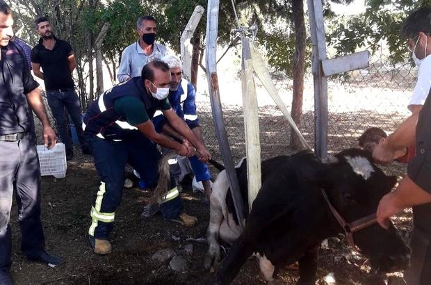 İnek elektrik direğine sıkıştı Elektrik direği ikiye ayrılarak inek kurtarıldı