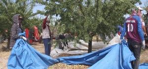 Devlet desteğiyle bin dönüme ektiği bademde hasada başladı